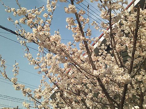 ひろせ野鳥の森駅そばで見かけた桜の花