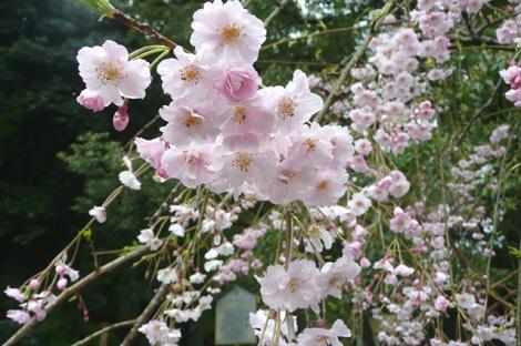 太宰府の枝垂れ桜の花