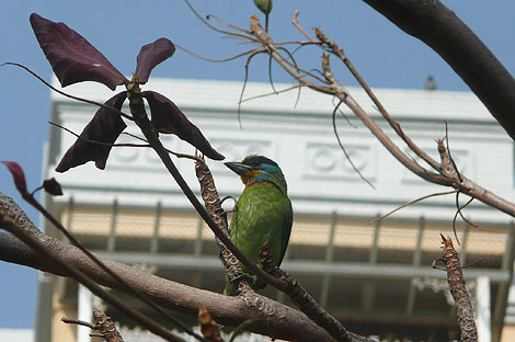 台湾の五色鳥