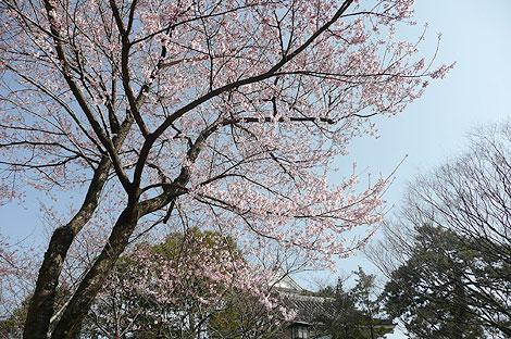 北九州・小倉城の桜