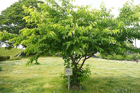 宇都宮城址公園の葉桜