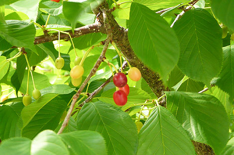観賞用の桜の木でさくらんぼ